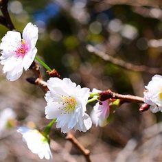 【shun033】さんのInstagramをピンしています。 《「冬桜が咲いています☆ ~市川市・じゅん菜池緑地」 Winter Cherry Flowers Blooming in Junsai-ike Pond Nature area,Ichikawa city,Chiba,Japan  こんにちは。 おととい撮ってきたじゅん菜池緑地の風景からもう1枚お届けします。 じゅん菜池のほとりには数本だけ冬桜があり、いま可愛らしい花を咲かせています☆  花びらが八重なので、「十月桜」という種類かなと思います。 十月桜は、10月~12月にいったん咲いた後、4月に再び花を咲かせます。  しばらくは咲いていると思いますので、じゅん菜池をお散歩する際にはぜひ冬桜もチェックしてみてください♪  #cherryblossoms #冬桜 #十月桜 #japan #ichikawa #chiba #桜 #flower #花 #市川 #市川市 #千葉県 #千葉 #はなまっぷ #ig_nihon #wow_nihon #art_of_japan #japanwireless…
