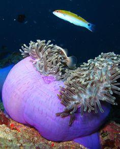 Skunk Anemonefish (Amphiprion akallopisos). Similan Islands November 2009. Canon G10. #SCUBA #Diving #SimilanIslands #Thailand #Clownfish #Anemone #CanonG10