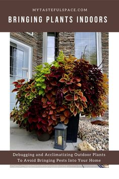 How to safely bring your outdoor plants inside for winter. Easy acclimatizing and debugging steps to avoid bugs in your home! #bringingplantsindoors #debuggingplants #pestfreeplants #bugfreeplants #winteringplants #houseplants