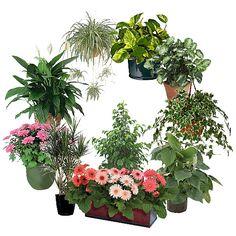 Huonekasvit eivät ole vain koristeita, vaan ne pystyvät tehokkaasti puhdistamaan sisäilmaa. Huonekas...