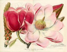 PrintCollection - Magnolia Campbellii