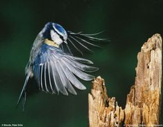 © Photoglobus, Blende Fotowettbewerb, Anfliegende Blaumeise