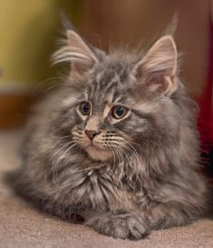 Maine Coon http://www.mainecoonguide.com/maine-coon-personality-traits/
