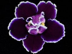 Edge of Darkness African Violet from Lyndon Lyon