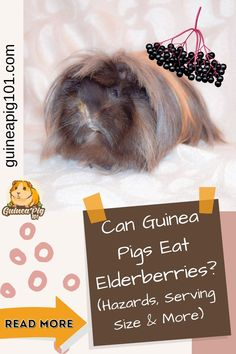 Elderberries are an excellent source of Vitamin C and sugar, which makes it equally beneficial and harmful. Guinea pigs need a balanced diet with Hay, vegetables, and fruits to live a healthy life. So, it is evident that a guinea pig owner can wonder if their guinea pigs can eat elderberries or not. #guineapigcare #guineapigguides #guineapigs #smallpets #guineapigfood Guinea Pig Food List, Baby Guinea Pigs, Guinea Pig Care, Best Fruits For You, Guinea Pig Information, Pigs Eating, Fruit List, Beautiful Fruits, Food Bowl