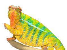 Panther Chameleon - Furcifer Pardalis - Ambilobe Locale - Male  Ambilobe breeder here at Canvas Chameleons named Bolt
