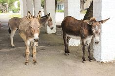 Three donkeys pause next to the funeral home on Hill Street. Donkeys, Funeral, Goats, Cool Photos, Cow, Street, Animals, Animales, Animaux