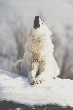 """"""" Arctic Wolf7 