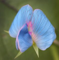 Lathyrus sativus var. azureus Why is this beautiful pea so rare in the trade? Just the prettiest shade of sky blue (not lavender!) flowers are borne numerously on a bushy-type vine reaching 2-3' tall. Native to India, it grows easily in heat as well as along the coast. Picks up where your Sweet peas left off.