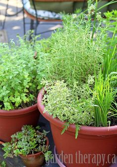 How to grow herbs in containers plus a list of perennial herbs that will come back every year.