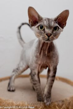 Devon Rex - favourite cat, they are like dogs.....we love ours to bits