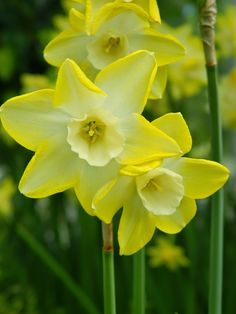 Pale yellow narcissus/daffodils  at the Centennial Park Conservatory 2015 Spring Flower Show by garden muses-not another Toronto gardening blog