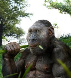 Paranthropus boisei. an early hominin that lived in East Africa between 2.3 and 1.2 million years ago, mainly ate tiger-nuts – edible bulbous tubers of the sedge Cyperus esculentus