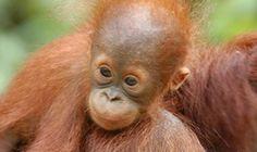 Reiser til Malaysia Primates, Animals, Animales, Primate, Animaux, Animal, Animais, Dieren