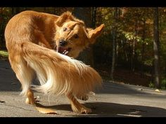 #Funny #Dogs Chasing Tails Compilation