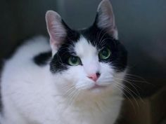 RAIN A1086405  RETURN** 11 year old RAIN was returned to shelter – owner claims destructive – is neutered and now needs a new home – friendly and sociable!!