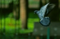 Find thousands of free stock photos and illustrations at Picspree. View this image of pigeon, fly, bird Cool Facebook Covers, Banner Images, Timeline Covers, Public Relations, Pigeon, Cover Photos, Cute Animals, Wings, Stock Photos
