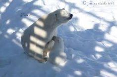 Image result for jemina staalo Polar Bear, Snow, Animals, Image, Animales, Animaux, Animais, Polar Bears, Bud