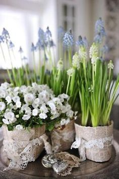 grape hyacinths in paper covered pots.  sweet for spring.
