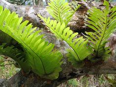 Polypodiaceae Aglaomorpha meyeniana