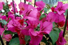 Find help & information on Bougainvillea × buttiana 'Mrs Butt' bougainvillea 'Mrs Butt' from the RHS