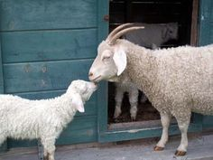 An Angora goat and kid at Keldaby Farm. Photo courtesy Cynthia Herbert. Mohair -- From: Fifty-Mile Fiber Diet: Part Two