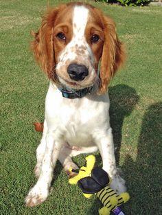 Bodie the Welsh Springer Spaniel, wanna play? Ya feelin' lucky???