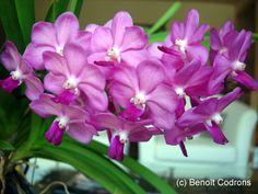 vascostylis pine river orchids   Vascostylis Pine Rivers 'Pink'