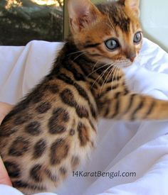 Bengal Kittens for Sale, Healthy, Top Quality Bengal Kittens w/ the Absolute Highest Level of Socialization, Well Handled / Well Trained Rosetted Bengal Kittens