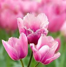 Afbeeldingsresultaat voor paarse bloem tuin