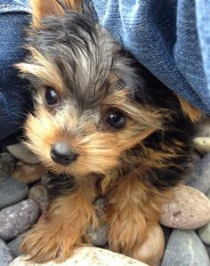 Yorkie puppies..Can travel with you...no sitter..but kids can fall on him and break him?