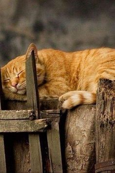 sleeping orange cat - Orange Cat - Ideas of Orange Cat - sleeping orange cat The post sleeping orange cat appeared first on Cat Gig. I Love Cats, Crazy Cats, Cute Cats, Funny Cats, Adorable Kittens, Chats Tabby Oranges, Image Chat, Photo Chat, Orange Tabby Cats