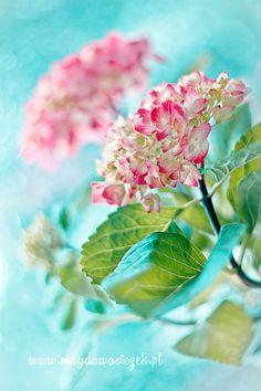 Gorgeous aquamarine pink hydrangeas by Magda Wasiczek on 500px