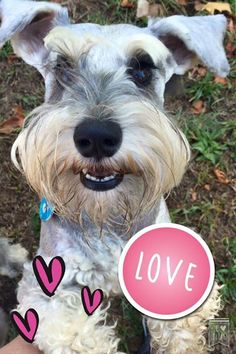 FUN: The founder and poster boy of Schnauzer Friends South Africa, Maximillion Gauntlett Sheldon Blane the 1st, stole his mommy Deborah's heart the very first day she met him as a little puppy! He is now 3 years and 3 months old and Schnauzer Friends  is a fabulously awesome community of over 7000 people making a difference in so many schnauzers lives! Eat your hearts out ladies, he is mine!!!!  #schnauzerfun #schnauzer www.schnauzerfriendsza.com