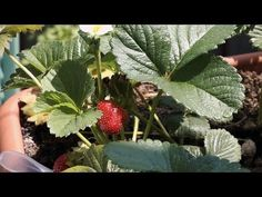 Growing Strawberry (40 days in 15 seconds timelapse + behind the scenes!)