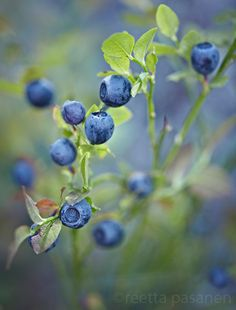 Blueberries by Reetta Pasanen. Blueberry Farm, Fotografia Macro, Summer Feeling, Food Coloring, Fruits And Veggies, Four Seasons, Mother Earth, Painting Inspiration, Floral Wreath