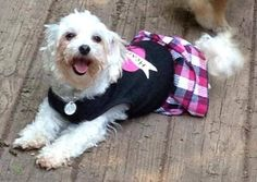 Kenzie Maltese • Adult • Female • Small Dutch Country Animal Rescue Furlong, PA