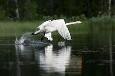 Swan Finland, Swan, Swans