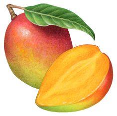 Tropical fruit painting of a whole mango and a cut half mango. Mango Fruta, Mango Sorbet, Fruit Illustration, Food Illustrations, Fruit Cake Watermelon, Fruit Cakes, Fruit Salad, Fruits Basket Anime, Fruits Drawing