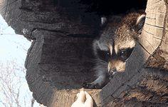 gifsboom:  Raccoon gifs