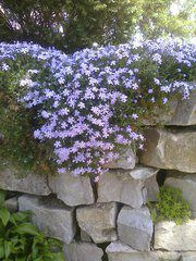 Creeping Phlox - this is such a pretty plant. you can use in in the front of flower beds as a groundcover, in pots or buckets, on rock walls, etc. it will climb and creep over or just grow in a beautiful mass! One of my favorites.