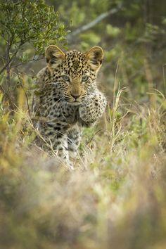 Leopard Cub (Panthera Pardus)