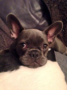 """My blue Frenchie """"ETHEL"""" White French Bulldog Puppies, French Bulldog Facts, French Bulldogs, Positive Dog Training, Basic Dog Training, Training Dogs, Pet Dogs, Dogs And Puppies, Doggies"""