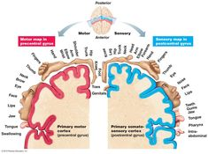 The cerebral hemispheres consist of cortex, white matter, and the basal nuclei Homunculus Brain, Primary Motor Cortex, Human Memory, A Level Biology, Cerebral Cortex, Psychology Studies, Sensory Motor, White Matter, Psicologia