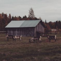 Hello neighbors! . . #reindeer #poro #finland #thisisfinland #hello #home #beautiful #autumn #syksy #neighbors