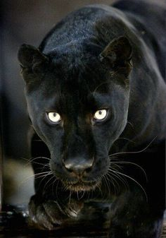 Black Pantherhttps://eglobalshops.com/