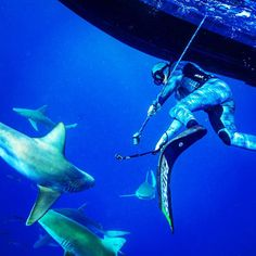 "Being a spearfisherman I've often heard sharks being called the ""enemy."" I've never viewed them this way when I'm hunting fish the #sharks are just competition.  They want to eat the same things I want to eat they don't want to eat me.  There has been a few cases of mistaken identity lately and these #sharkattack media hype is a really unfair portrayal of these fish.  They are not the mindless killers they are made out to be.  Some of the most plentiful reefs that I have hunted in…"