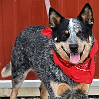 Pictures of Boomer a Australian Cattle Dog for adoption in Tinley Park, IL who needs a loving home. Tinley Park Illinois, Cute Puppies, Dogs And Puppies, Dog Rules, Puppy Breeds, Australian Cattle Dog, Working Dogs, Rescue Dogs, Pet Adoption