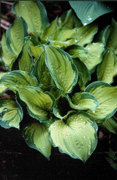 Something Different-Hosta Photo Library