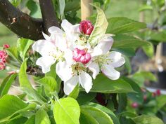 Malus 'Golden Hornet' - crab apple Plants Sunny, Garden Trees, Small Trees, Hornet, Green Leaves, Garden Design, Design Ideas, Apple, Flowers